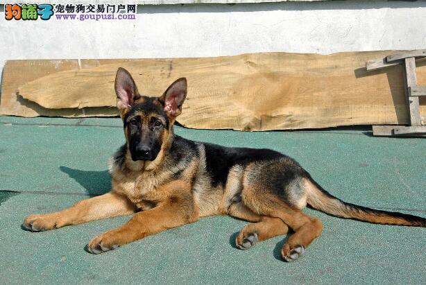 哪种类型的德国牧羊犬最容易被选中