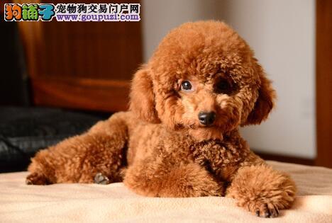 合格狗狗的犬种特点 泰迪犬的宜选标准