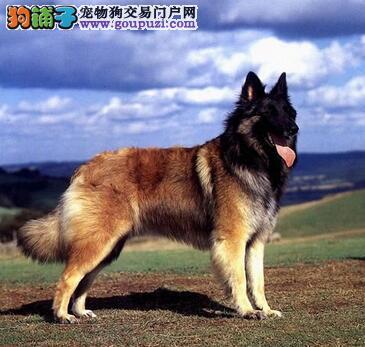 挑选方法大全 选购狼狗的注意要点