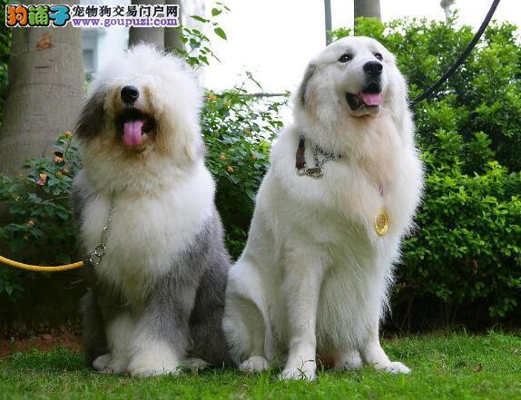 三看原则选好狗 大白熊犬种公犬的选择