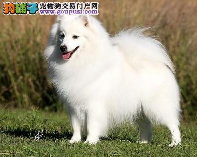 购买纯种银狐犬的入门知识与方法