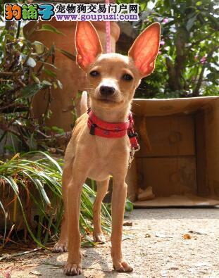 科普选购小鹿犬的基本知识与方法