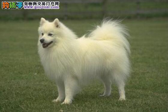 弄清血统渊源分析幼犬优秀 如何挑选银狐犬