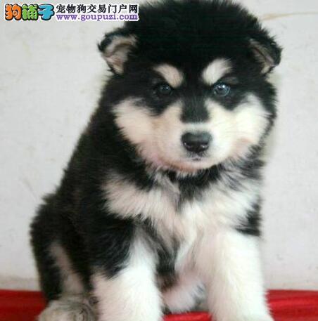 千挑万选 巨型阿拉斯加雪橇犬的品种标准