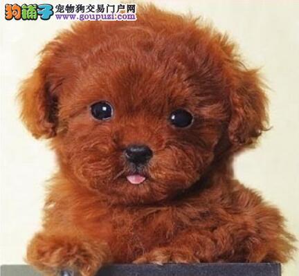精品泰迪犬的头部特点与主要缺陷