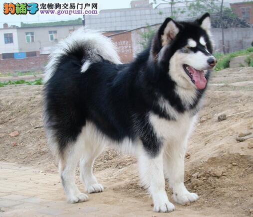 选购极品阿拉斯加雪橇犬的精髓知识