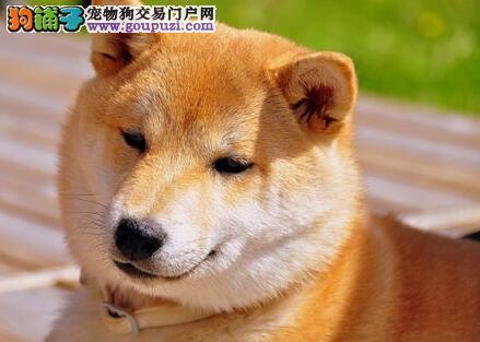 主人要了解清楚的秋田犬选购知识