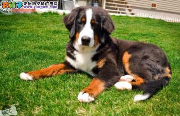 教你如何挑选到一只非常容易饲养的伯恩山犬
