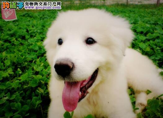 挑选纯种大白熊犬的要点知识与参考条件