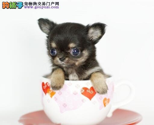 挑选知识集锦 挑选茶杯犬的几点注意事项