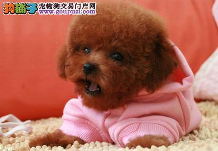 正规犬舍出售品质好的合肥泰迪犬售后保障全3