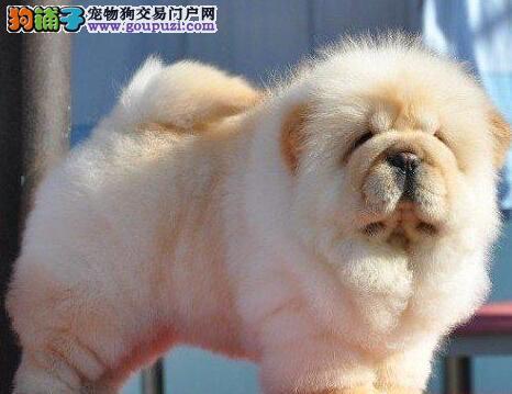 常德精品松狮犬出售 高品质保障价格优惠 欢迎选购