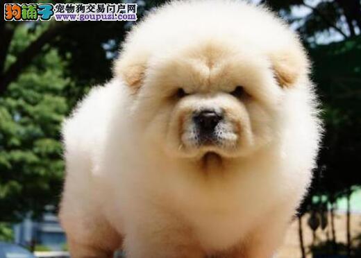 憨厚可爱的广州松狮犬找爸爸妈妈 保证纯种健康售后