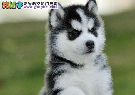 宿州市出售哈士奇幼犬公母均有 疫苗驱虫已打 协议质保