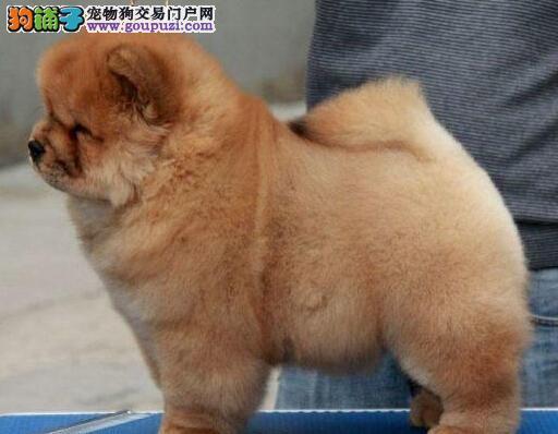 北京售肥嘟嘟肉嘴小松狮 松狮幼犬公母全有欢迎选购图片