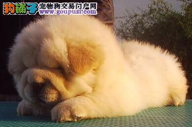 转让胖嘟嘟十分可爱的合肥松狮犬 疫苗驱虫已做好