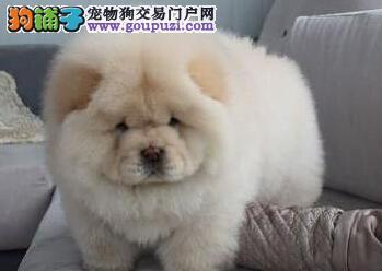 北京售肥嘟嘟肉嘴小松狮 松狮幼犬公母全有欢迎选购