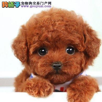 保证纯种健康终身质保饲养指导长沙茶杯体泰迪犬出售