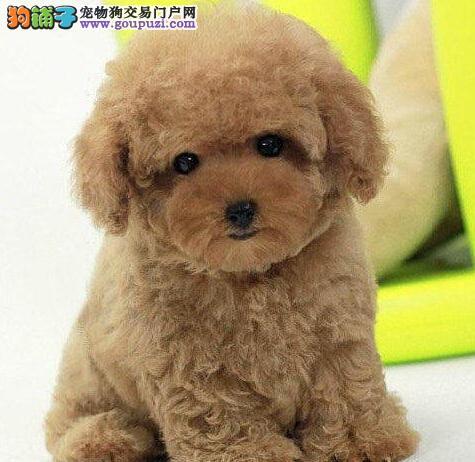 我们专业繁育出售银川韩国纯种泰迪 各种颜色各种体形