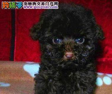 热卖重庆犬舍繁殖纯种泰迪犬 送用品签协议1