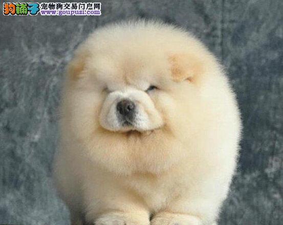热销松狮幼犬,血统纯正包品质,喜欢加微信1