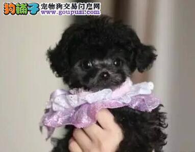 杭州狗舍畅销纯种健康泰迪犬 包养活保健康赠用品