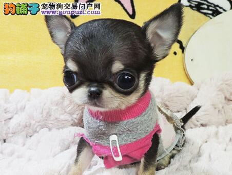 超小体精品吉娃娃幼犬超低价出售 南京市内免费送货