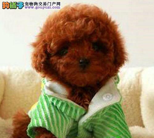 茶杯犬贵宾幼犬价格多少迷你贵宾犬价钱多少贵宾犬