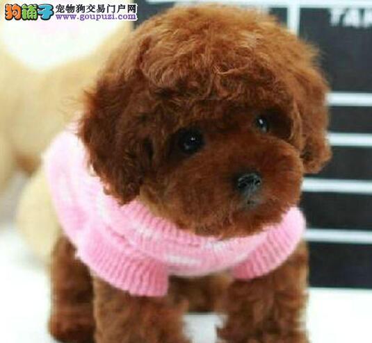 优秀韩国品质合肥贵宾犬狗场直销 喜欢的可上门看看