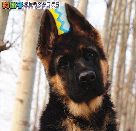 三个月的青岛德国牧羊犬找新家 24小时可咨询服务