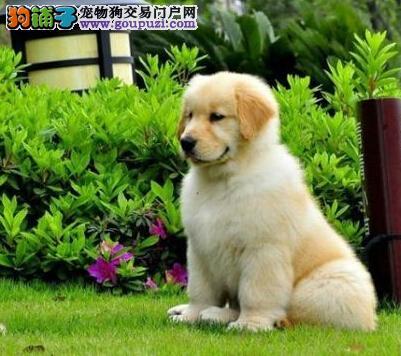 出售自家繁殖非常活泼高贵而文雅的金毛幼犬图片