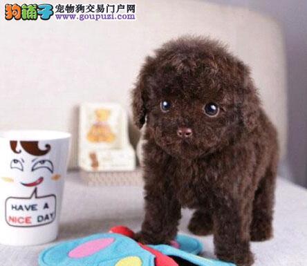 重庆泰迪熊出售 长不大的玩具犬 颜色齐全可视频选