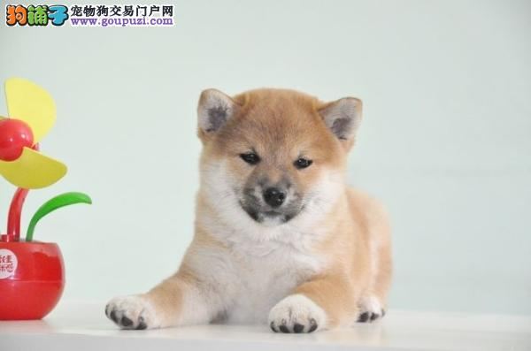 广州日本柴犬 微博界扛把子 纯种高品质疫苗做齐