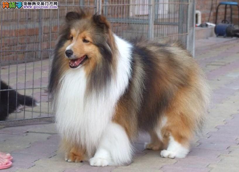 纯血统繁殖基地出售赛级品质喜乐蒂犬价格实在保健康
