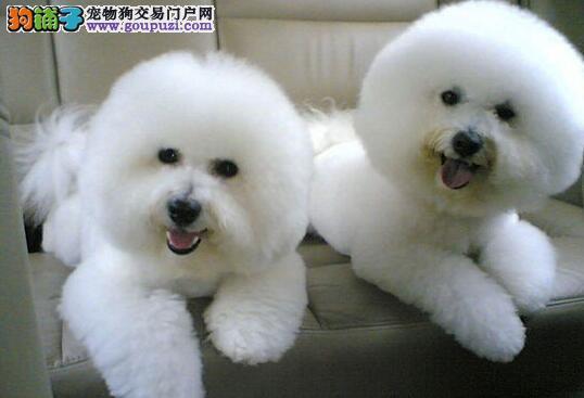 昆明正规狗场出售卷毛比熊犬 照片实图 多色多只可选