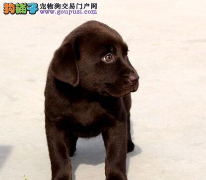 乖巧懂事的昆明拉布拉多犬找新家 可办理血统证书