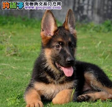 德牧牧羊幼犬出售,黑背,弓背