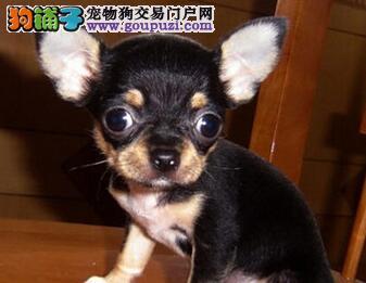 保山市出售吉娃娃幼犬 公母都有 疫苗齐全 可视频看狗