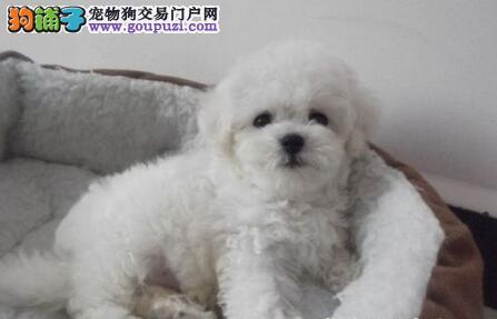天津出售养高品质法国卷毛比熊犬、选正规犬舍