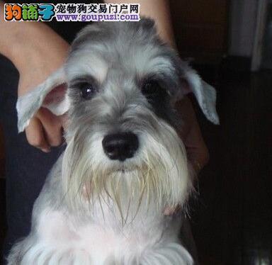 出售纯种雪纳瑞犬 老头狗 可签质保协议