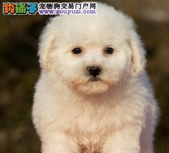 北京售大眼睛甜美脸型法系小体大毛量纽扣眼比熊幼犬