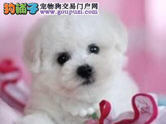 北京售健康比熊犬幼犬 棉花糖 白色粉扑