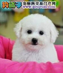 冠军后代幼犬 大眼睛甜美脸型比熊幼犬武汉多只出售1
