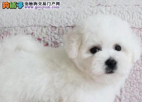 出售勇敢机灵聪明听话的广州比熊犬 带有血统证书1
