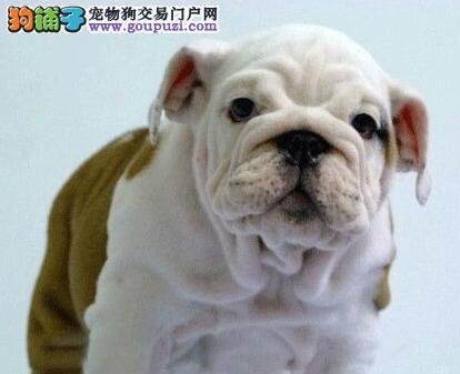 天津出售高品质英国斗牛幼犬,疫苗驱虫已作英牛犬