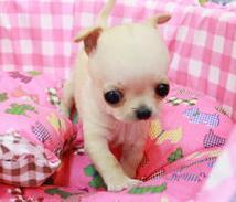 小体吉娃娃全国空运上海正规狗场售苹果头大眼睛吉娃娃