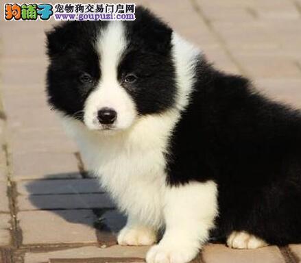 出售深圳健康边境牧羊犬 边牧犬公狗幼犬