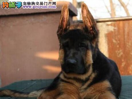 南京养殖场直销德国牧羊犬 品相佳价钱低保健康包养活