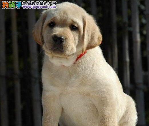 国际注册犬舍 出售极品赛级拉布拉多幼犬质保三年支持送货上门