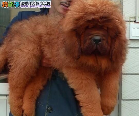 藏獒王者决定于遗传 实力 潜力 魅力并存
